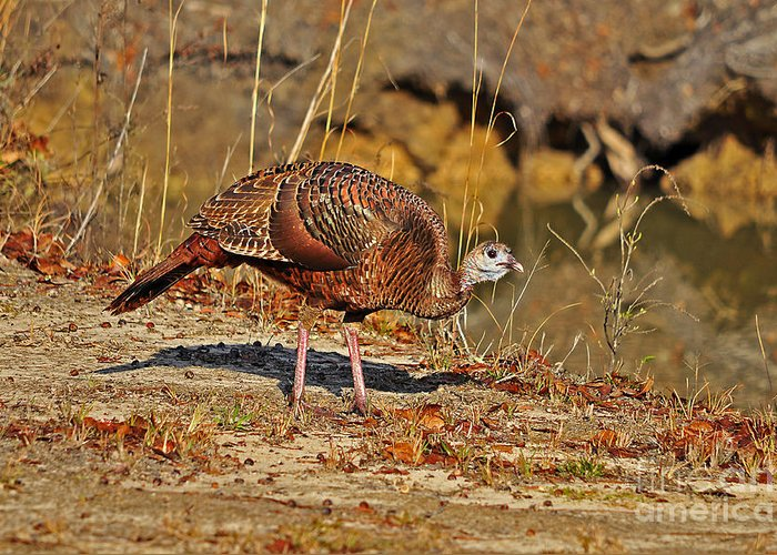 Turkey Greeting Card featuring the photograph Wild Turkey by Al Powell Photography USA