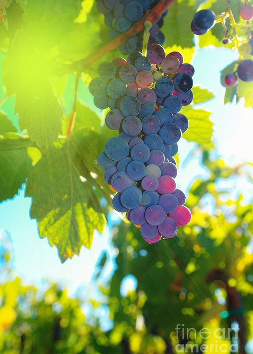Wine Greeting Card featuring the photograph Wine Grapes by Jeff Swan