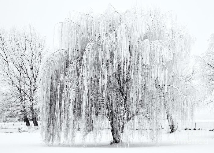 Willow Greeting Card featuring the photograph Winter Willow by Mike Dawson