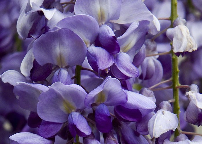 Nature Greeting Card featuring the photograph Wisteria by Michael Friedman