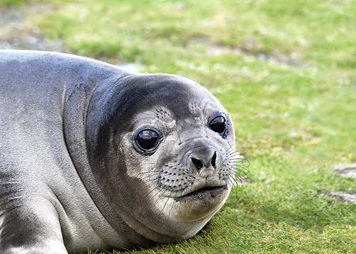 Southern Elephant Seal Greeting Card featuring the photograph Woeful Weaner by Ginny Barklow