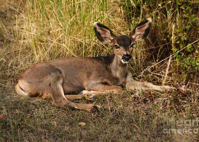 Fawn Greeting Card featuring the photograph Young Mule Deer by Robert Bales