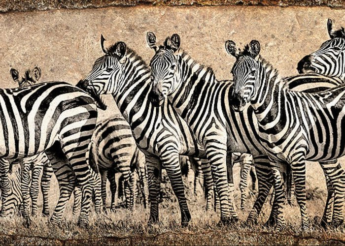Africa Greeting Card featuring the photograph Zebra Herd Rock Texture Blend by Mike Gaudaur