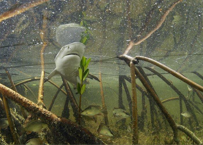 Atlantic Ocean Greeting Card featuring the photograph A Lemon Shark Pup Swims Among Mangrove by Brian J. Skerry