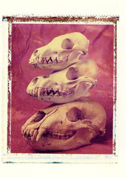 Animal Skulls Fox Wolf Bear Still Life Greeting Card featuring the photograph Animal Skulls by Garry Gay