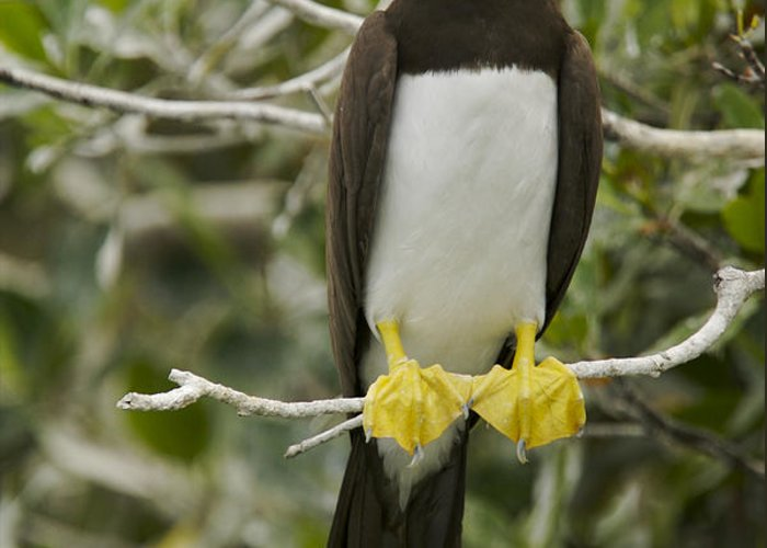 Photography Greeting Card featuring the photograph Brown Booby, Sula Leucogaster by Tim Laman