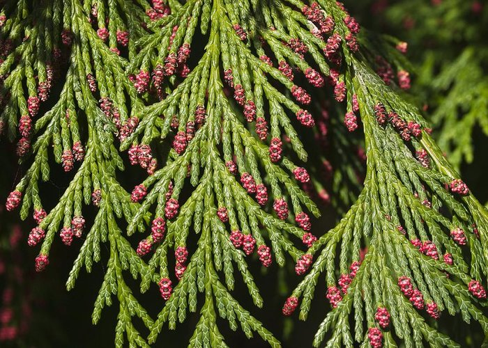 Biological Greeting Card featuring the photograph Chamecyparis Lawsoniana by Adrian Bicker