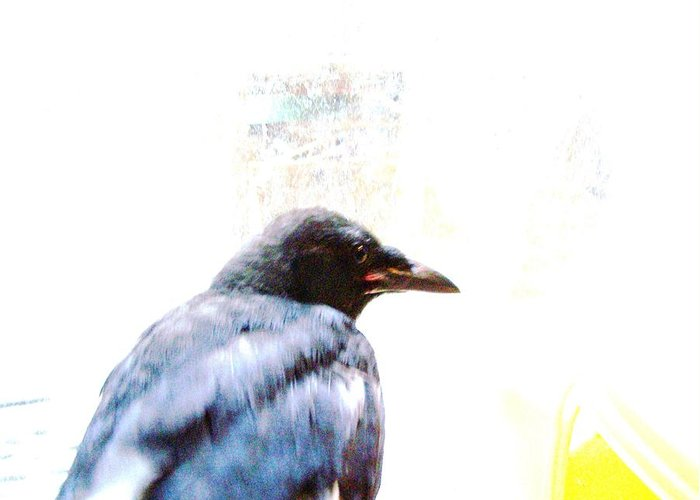 Crow Greeting Card featuring the photograph Crow Portrait by YoMamaBird Rhonda
