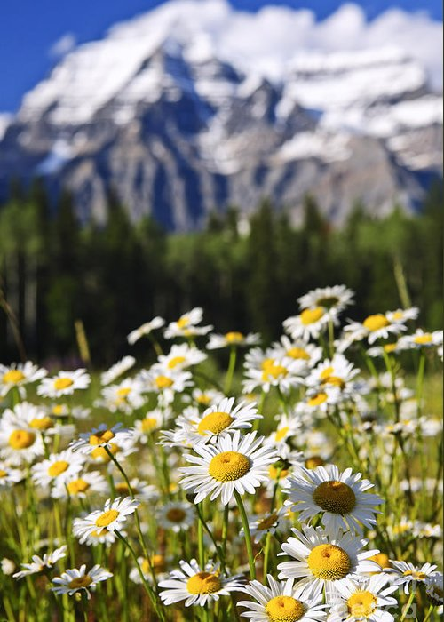 Daisies At Mount Robson Provincial Park Greeting Card by Elena Elisseeva