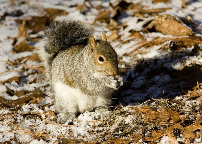 One Animal Greeting Card featuring the photograph Eastern Gray Squirrel Sciurus by Tim Laman