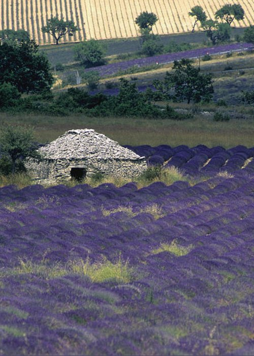 Touristic Greeting Card featuring the photograph Field Of Lavender. Sault by Bernard Jaubert