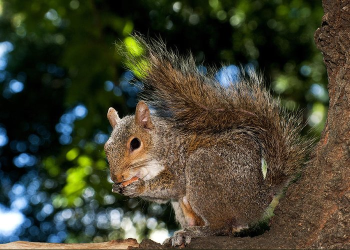 Close Up Greeting Card featuring the photograph Gray Squirrel by Fabrizio Troiani