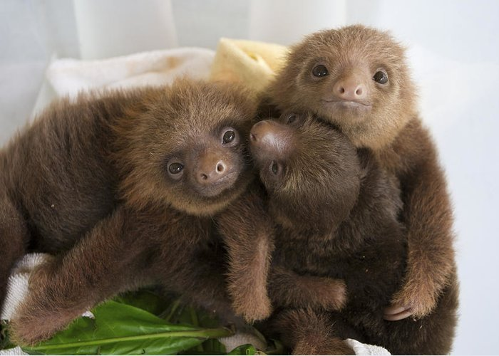 Mp Greeting Card featuring the photograph Hoffmanns Two-toed Sloth Choloepus by Suzi Eszterhas