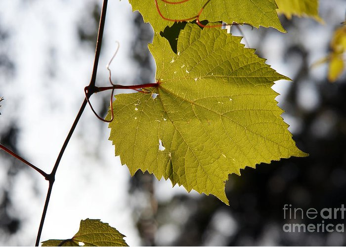 Detail Greeting Card featuring the photograph Leaves Of Wine Grape by Michal Boubin