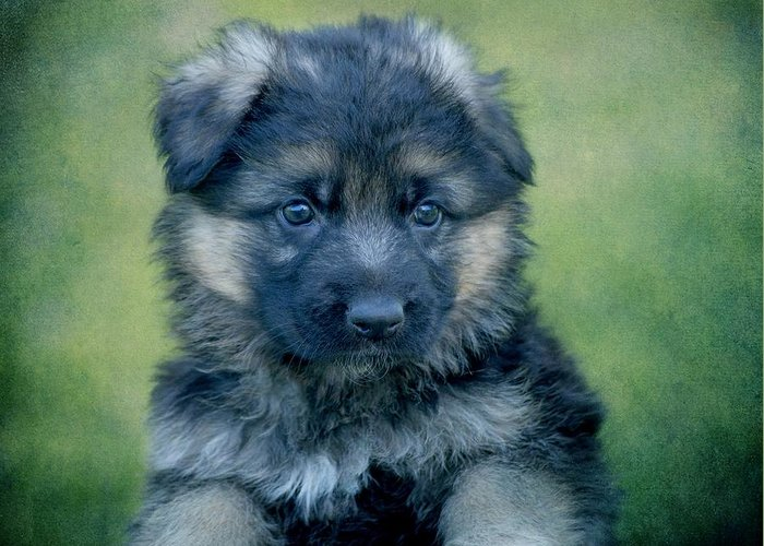 German Shepherd Puppy Greeting Card featuring the photograph Long Coated Puppy by Sandy Keeton
