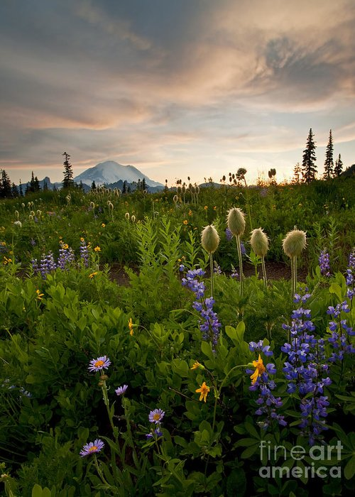 Aster Greeting Card featuring the photograph Lupine Sunset by Mike Dawson