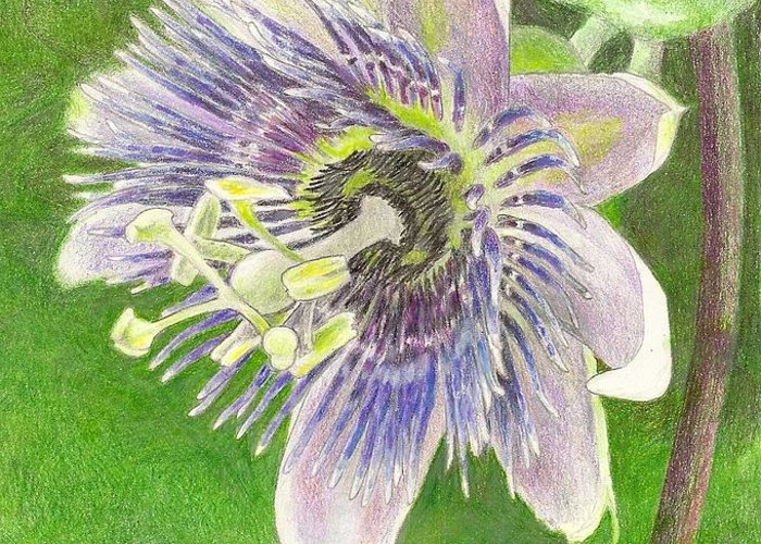 Passiflora Greeting Card featuring the drawing Passiflora Alatocaerulea by Steve Asbell