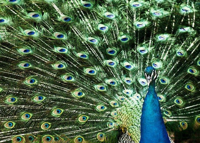 Bird Greeting Card featuring the photograph Peacock by Ivan Vukelic