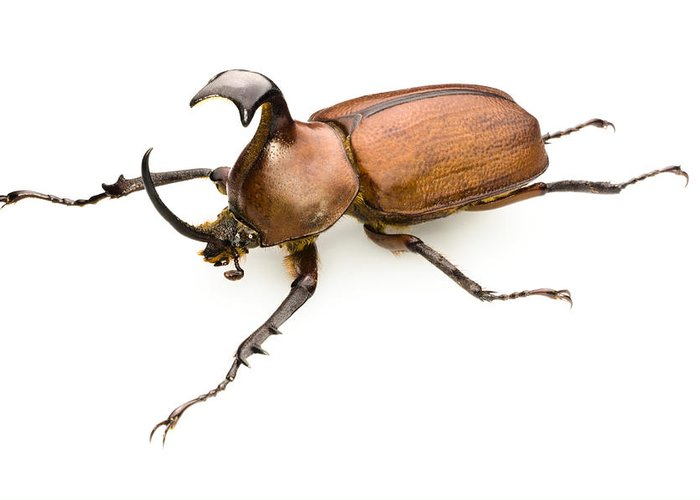 Golofa Pizarro Greeting Card featuring the photograph Rhinoceros Beetle by Lawrence Lawry