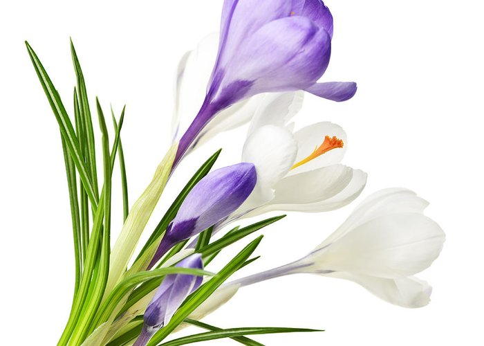 Flowers Greeting Card featuring the photograph Spring Crocus Flowers by Elena Elisseeva
