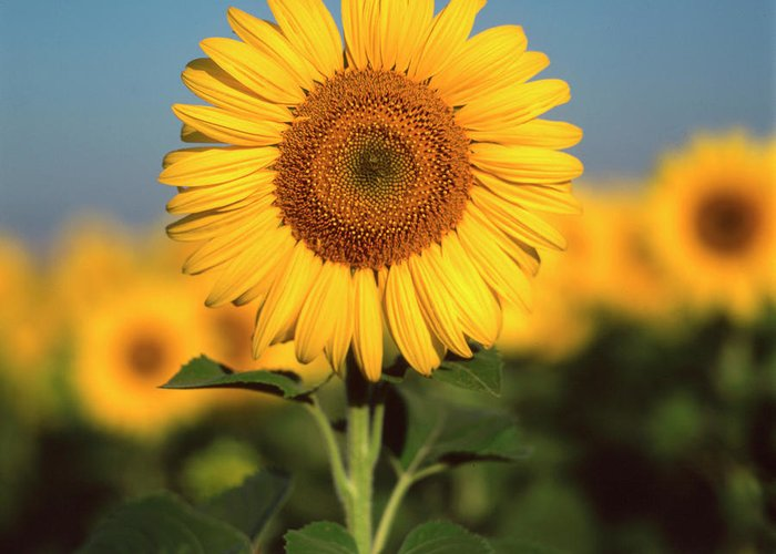 Auvergne Puy De Dome France Agricultural Agriculture Crop Cultivate Cultivation Rural Countryside Sunflower Field Plant Oil Yellow Flowers Close Up Summer Vertical Greeting Card featuring the photograph Sunflower by Bernard Jaubert