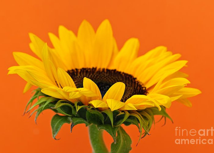Sunflower Greeting Card featuring the photograph Sunflower Closeup by Elena Elisseeva