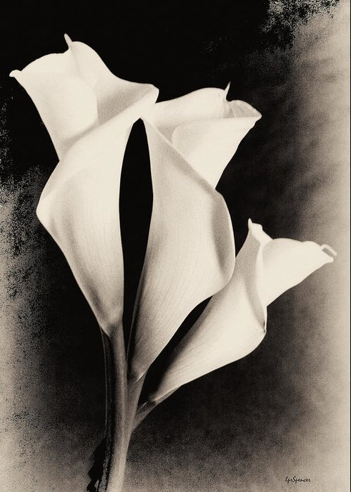 Floral Greeting Card featuring the photograph Three Calla Lilies by Lisa Spencer