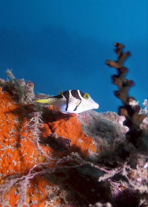Valentinni's Sharpnose Puffer Greeting Card featuring the photograph Valentini's Sharpnose Puffer by Georgette Douwma