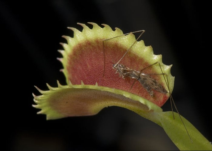 Atlanta Greeting Card featuring the photograph Venus Flytraps As They Consume Insects by Joel Sartore