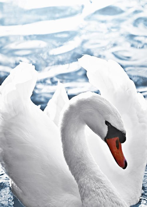 Swan Greeting Card featuring the photograph White Swan On Water by Elena Elisseeva