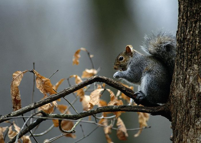 North America Greeting Card featuring the photograph An Eastern Gray Squirrel Sciurus by Chris Johns