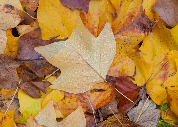 Leave Greeting Card featuring the photograph Autumn Leaves by Hans Engbers