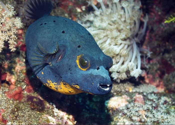 Blackspotted Puffer Greeting Card featuring the photograph Blackspotted Puffer by Georgette Douwma