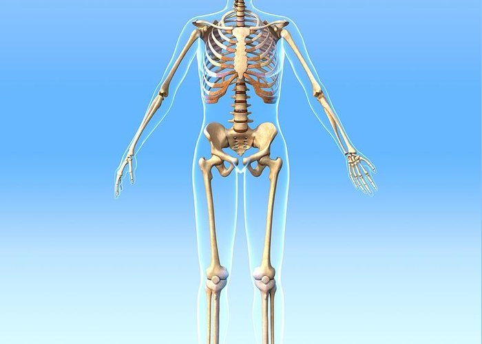Human Greeting Card featuring the photograph Female Skeleton, Artwork by Roger Harris