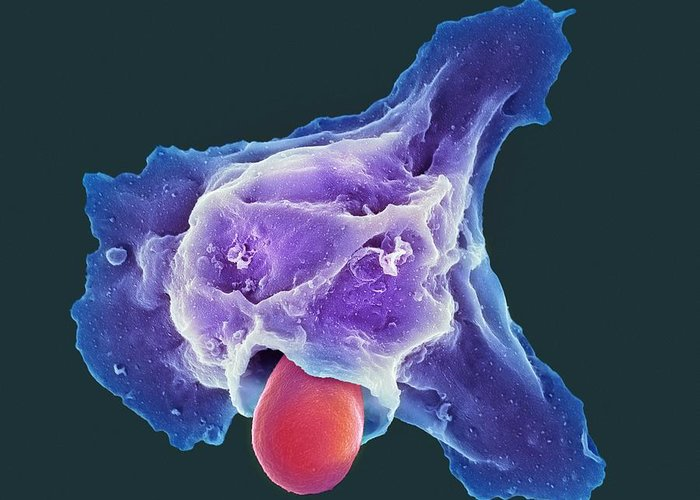 Candida Albicans Greeting Card featuring the photograph Neutrophil Engulfing Thrush Fungus, Sem by