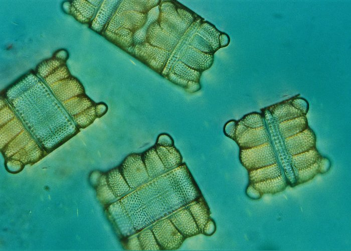 Diatoms Greeting Card featuring the photograph Close View Of Diatoms by Darlyne A. Murawski