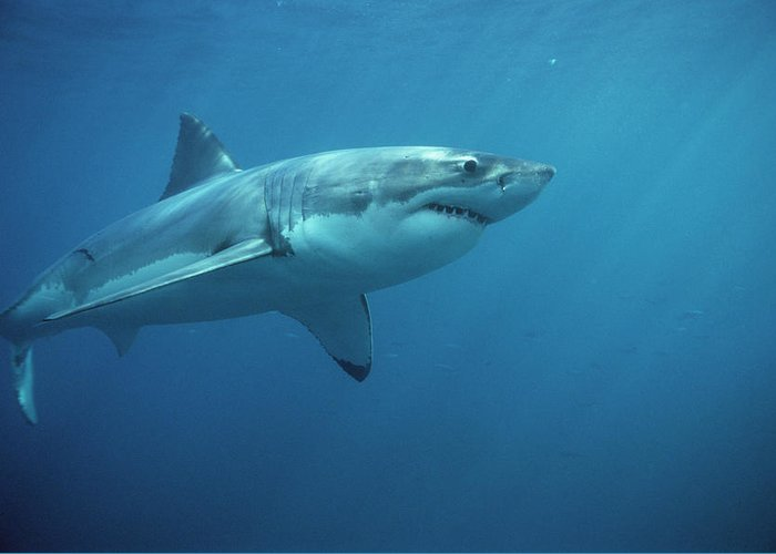 Mp Greeting Card featuring the photograph Great White Shark Carcharodon by Mike Parry