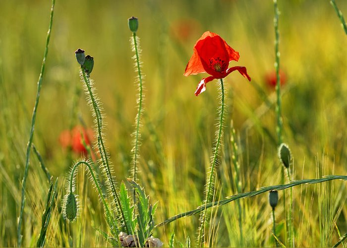 Poppy Greeting Card featuring the photograph Poppies by Guido Montanes Castillo