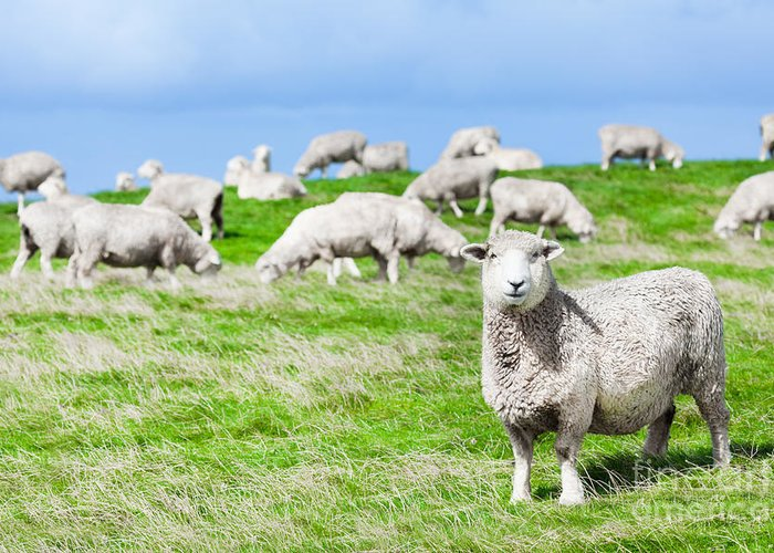 Sheep Greeting Card featuring the photograph Sheeps by MotHaiBaPhoto Prints