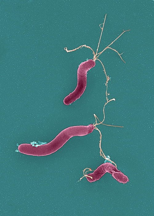 Helicobacter Pylori Greeting Card featuring the photograph Helicobacter Pylori Bacteria, Sem by