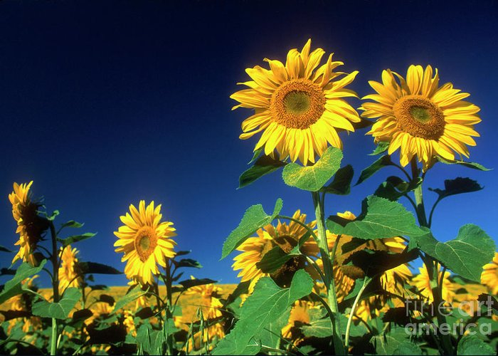 Auvergne Puy De Dome France Agricultural Agriculture Crop Cultivate Cultivation Rural Countryside Sunflower Field Plant Oil Yellow Flowers Close Up Summer Horizontal Greeting Card featuring the photograph Sunflowers by Bernard Jaubert