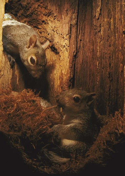 United States Greeting Card featuring the photograph A A Baby Eastern Gray Squirrel Sciurus by Chris Johns