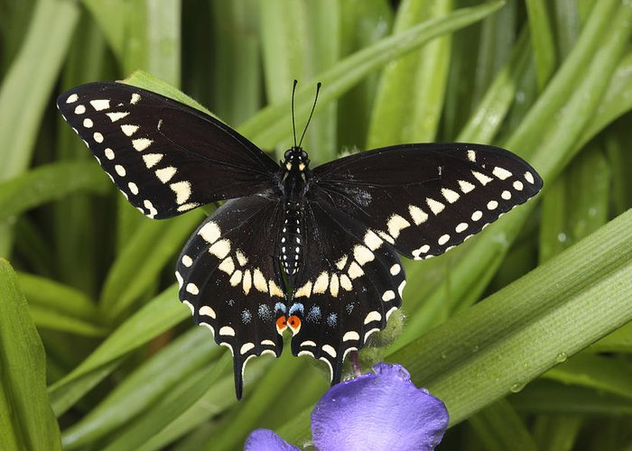 Day Greeting Card featuring the photograph A Black Swallowtail Butterfly, Papilio by George Grall