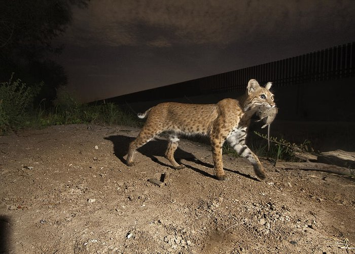 Outdoors Greeting Card featuring the photograph A Bobcat Crosses A Rio Grande Border by Joel Sartore