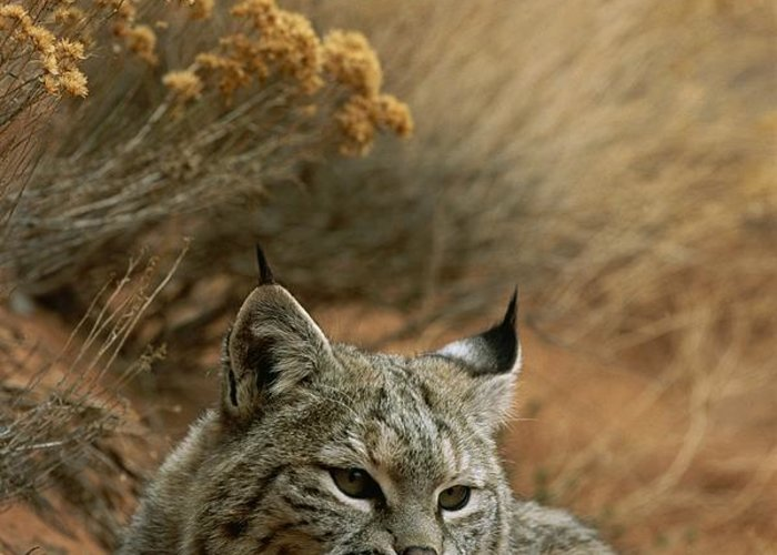 Animals Greeting Card featuring the photograph A Bobcat by Norbert Rosing