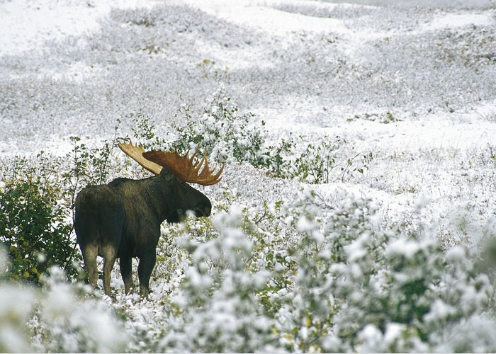 North America Greeting Card featuring the photograph A Bull Moose On A Snow Covered Hillside by Rich Reid