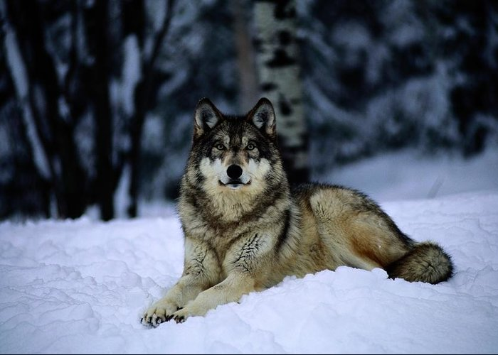 Color Image Greeting Card featuring the photograph A Captive Grey Wolf, Canis Lupus by Joel Sartore