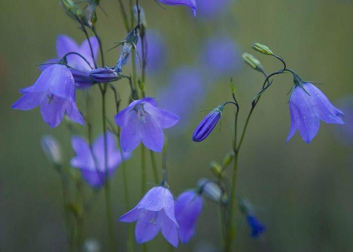 Jemez Mountains Greeting Card featuring the photograph A Close Up Of Mountain Hairbells Dietes by Ralph Lee Hopkins
