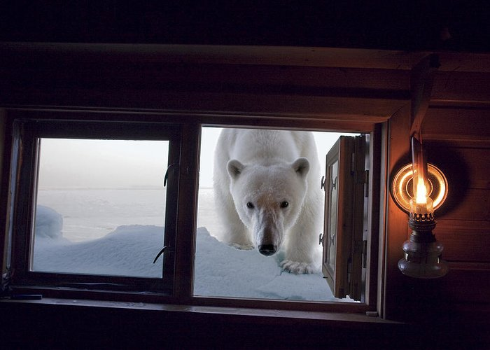 Outdoors Greeting Card featuring the photograph A Female Polar Bear Peering by Paul Nicklen
