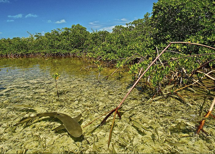 Atlantic Islands Greeting Card featuring the photograph A Lemon Shark Pup Swims Among Mangrove by Brian J. Skerry